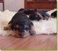 Tired WharfeAire puppies, photo by Wanda Purvis
